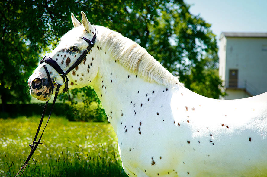 Ein auffälliges, barockes Pferd, wie es dem dänischen Adel sicher gefallen hätte.