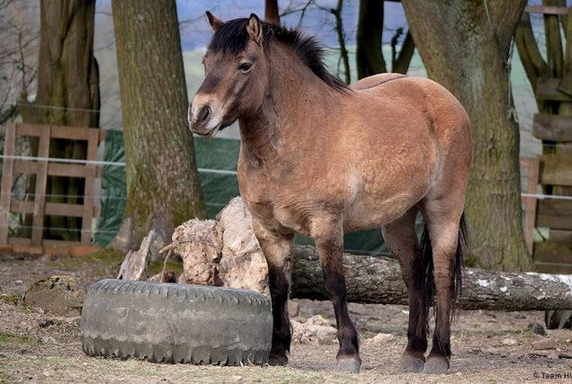 Hufrehe - welche Anzeichen du schon lange vor einem Schub erkennen kannst und welche einfachen Maßnahmen deinem Pferd helfen können, findest du hier.