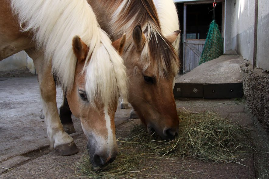 Bei der Studie wurde untersucht wie Pferde von sich aus Türen und Tore entriegelt haben.