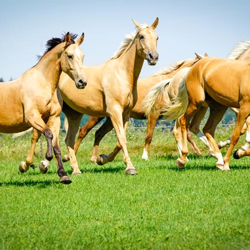 Was macht man, wenn das eigene Pferd nicht ins Zuchtbuch eingetragen wird? Richtig, man gründet eine eigene Pferderasse - so wie Graf Kinsky.