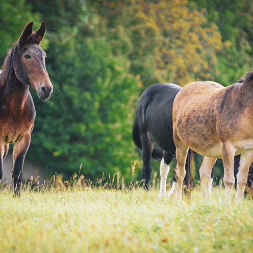 xStörrisch, langsam, billiger Pferde-Ersatz - das sind wenige der gängigen Vorurteile über Mulis. Wer sich auskennt weiß aber, dass Mulis viel mehr als Pferde leisten können.